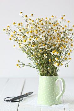 Wild camomile flower / Camamilla silvestre via cuinaperllaminers