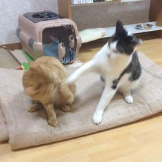 結構いたそうなしぃくんの猫パンチがさくちゃんを捉えた - @makoccchan- #webstagram