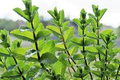Menthe poivrée (Mentha x piperita) Planter Menthe, Home Remedies, Natural Remedies, Peppermint Oil Benefits, Getting Rid Of Mice, Potager Bio, Comment Planter, Medicinal Plants, Herbs