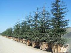 SEQUOIA SEMP APTOS BLUE Sequoia Sempervirens, Wholesale Plants, Trees To Plant, Country Roads, Holiday Decor, Blue, Outdoor, Outdoors, Tree Planting