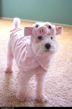 Puppy-Piglet! How cute! (maybe Willie was a dog costume model in his previous life before he came to us!)
