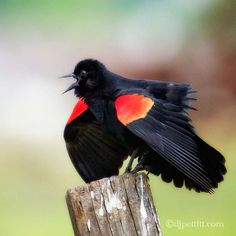Red-Winged Blackbird frippery by  DJ Pettitt