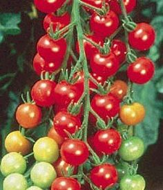 """Super Sweet 100 Hybrid Tomato 4 Plants - Very Productive by Hirts: Tomato Plants. $5.99. Vigorous vines bear abundantly until frost and need staking for best results. This is a """"Pre-Order"""". Shipping begins on March 1st! Disregard the initial shipping email if purchased before your shipping date. A tracking number will migrate to your account when the plants actually ship.. Beautiful crisp red colored fruit. Huge, multiple-branched clusters of one inch very sweet fruit with ..."""
