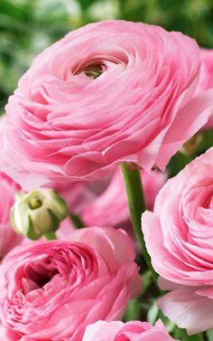 Pink Rose Ranunculus ~  via Willemse France Flowers