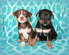Living with a Rat Terrier: When a Rat Terrier has a Brother