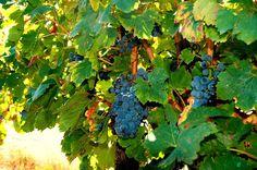 Jó hír a mértékletes, minőségi borfogyasztóknak! Egy kutatás igazolja, hogy a vörösbor egyik összetevője segíthet az időskori el...