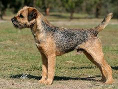 Border Terrier, stacked to show