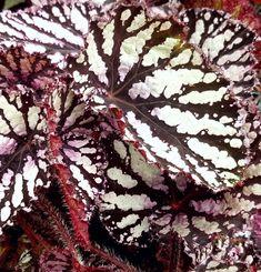 Begonia 'Michelle'
