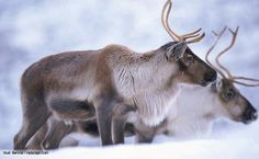 Reindeer, or caribou, can outperform all other land animals in their energy efficiency. They're seen on their annual migration to the Arctic during which herds might travel for more than 5,000km - a feat that takes them further than any other land mammal. A warm, insulating coat and large hooves are vital to their survival against the extreme cold and snow of the Arctic. They are the only deer where both males and females sport antlers, complex structures that can reach epic proportions in…