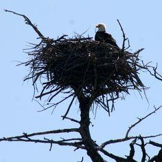 Trenton, Mi Bald Eagles find welcoming home at International Wildlife Refuge