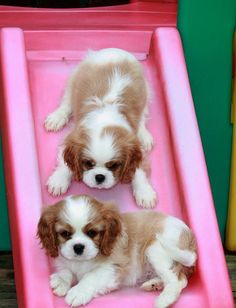 Cavalier King Charles Spaniel Puppies, playing down the slide!
