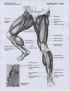 Exceptional Drawing The Human Figure Ideas. Staggering Drawing The Human Figure Ideas. Leg Anatomy, Anatomy Poses, Muscle Anatomy, Anatomy Study, Anatomy Reference, Anatomy Organs, Heart Anatomy, Human Anatomy Drawing, Human Body Anatomy