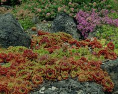 Sedum sempervivum 'Commander Cody' (ground cover - sun)