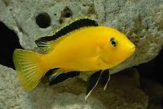 Find information about keeping the Electric Yellow Cichlid or Labidochromis Caeruleus in a home aquarium, including advice for feeding and breeding your Electric Yellow Cichlid. Cichlid Aquarium, Cichlid Fish, Malawi Cichlids, African Cichlids, Colorful Fish, Tropical Fish, Yellow Fish, Salt Water Fish, Freshwater Aquarium Fish
