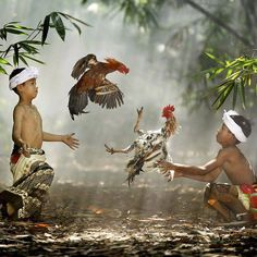 Hotels-live.com/annuaire - Children breaking up a Rooster fight in Indonesia- | Photography By: Ario Wibisono  by livingonearth https://www.instagram.com/p/_m0F8yjT4C/ via Annuaire des voyageurs https://www.facebook.com/332718910106425/photos/a.1059703267407982.1073741934.332718910106425/1115787971799511/?type=3