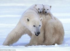 Taken for a ride: This picture shows the cubs riding on their mother's back as she finds a safe place for them to relax.