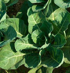 ... Collard Greens on Pinterest | Collard greens, Collard greens recipe