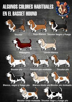 Walkie is a lemon! Baby Basset Hound, Chien Basset, Basset Puppies, Hound Puppies, Beagle Puppy, Dogs And Puppies, Doggies, Horses And Dogs, Labrador Retriever Dog