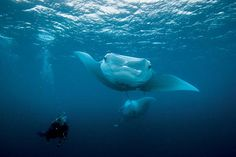 Our Father LOVED diving and hanging out w/ them. Top 5 Places to Scuba Dive with Manta Rays