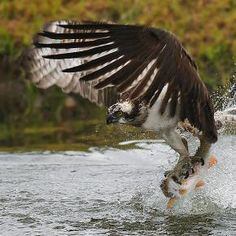 Osprey (Pandion haliaetus) One of the most widespread birds of prey, the #Osprey is found on every continent in the world except Antarctica. The osprey is also called the 'fish hawk', as it is well adapted for hunting fish. A reversible outer toe helps the osprey to carry fish while in flight. Hunting almost exclusively for live fish, the osprey plunges feet first to snatch them from the water, sometimes becoming completely submerged. #BirdsofPrey