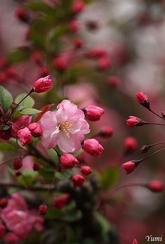 Pink blossoms on the Crabapple Tree