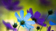 Blue and purple cosmos Flower HD desktop wallpaper, Cosmos wallpaper - Flowers no. Blue Flower Wallpaper, Cool Wallpaper, Windows Wallpaper, Cosmos Flowers, Blue Flowers, Pretty Flowers, Colorful Flowers, Cosmos Image, Wallpaper Collection