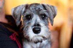 Aww a little salt and pepper mini schnauzer puppy what a darling face