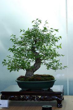 JPB:Bonsai Collection4   bonsai   Flickr - Photo Sharing!
