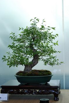 JPB:Bonsai Collection4 | bonsai | Flickr - Photo Sharing!