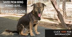 I am a 5 year old girl called Clove - and a survivor of Asia's dog meat trade. Please email cristy@soidog.org to ADOPT me.  I have never known such fear – I was snatched from the street and squashed into a small metal cage with many other dogs and taken away on a truck to cross the border. It hurt being in the metal cage with other dogs. Where were these people taking me? Why were there so many of us? http://www.soidog.org/en/adoptions/dog-meat-trade-dogs-for-adoption/clove/