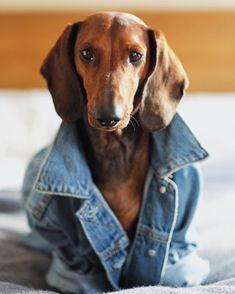 Dachshund Appreciation Society http://ift.tt/22jBmH #dachshund Appreciation Society http://ift.tt/22jBmHV