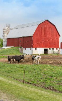 Red Barn | Grazing Cattle | Pure Michigan | Country Living | https://twitter.com/CCainCabin | www.facebook.com/creativecaincabin | http://www.pinterest.com/dawncain/ | #Michigan #CountryLiving