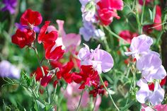 How to Grow Sweet Peas for the Home or for Show