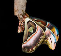 Atlas Moth photo by  Vic Schmeltz Photography