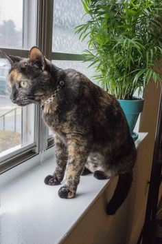 """""""Chloe is a 3-year-old ResQte from Protectors of Animals in East Hartford, CT. She came in with a litter of kittens and they all got adopted..but not poor...Chloe.  She now has a forever home.  Submitted on Cute overload.."""