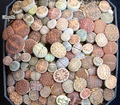 Lithops aka Living Stones http://scienceray.com/biology/flowering-pebbles-the-plants-that-look-like-stones/