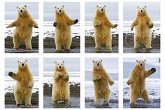 Steve Kazlowski's Dancing Polar Bears: Alaska based photographer Steve Kazlowski has been documenting the wildlife of the Arctic for many years, but it wasn't until a recent expedition that he saw a polar bear dance! [Photo © Steven Kazlowski / naturepl.com] B.Konietzko: I must find somewhere in Korra for Naga to do this… It is my mission!