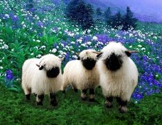 I love Valais Blacknose Sheep! Cloned several stock images to create design for my coffee mug and iPhone.