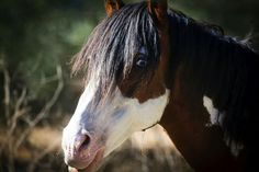 Diamonte Wilbur Cruce Stallion and full brother to Isadora cruce and Inez cruce.