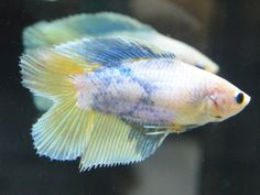 live betta fish- SPECTACULAR FEMALE doubletail baby blue golden yellow spawner