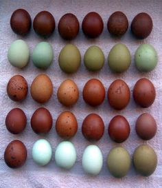 """A Charmed Life,"" from chicken breeder whose flocks include the endangered Black Java. Lovely pics, interesting narrative on egg colors and the birds who lay them."