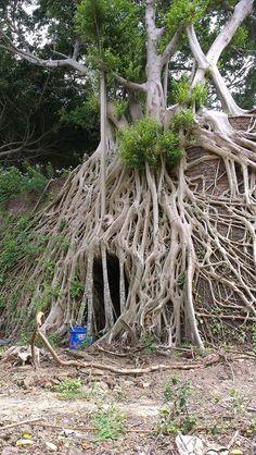 通宵窯 Taiwan Ficus Tree, Abandoned Places, Bonsai, Moonlight, Roots, Trees, Gardens, Design, Plants