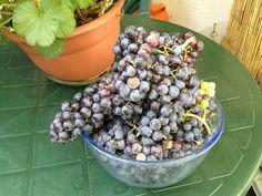 Mi primera cosecha 2012 de uva Merlot cultivada en mi terraza.