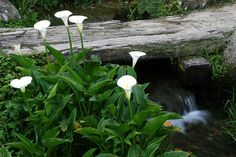 Calla lily flower Water Garden Plants, Photo Tree, Types Of Flowers, Calla Lily, Flower Photos, Ponds, Waterfalls, Trees, Pictures