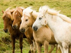 horses from Iceland