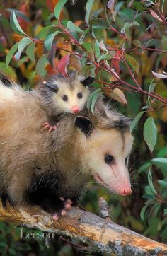 Opossums make up the largest order of marsupials in the Western Hemisphere, including 103 or more species.  ONE OF MY MOST FAVORITE ANIMALS!