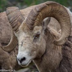 Banff Big Horn Sheep