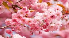 2-Day DC Cherry Blossoms and Hersheys Chocolate World Tour from New York #travel #vacation #cherryblossoms #cherryblossomstour #cherryblossomfestival #newyork #vacationpackage #tourpackage http://shrsl.com/?~3alx