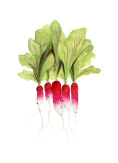 Radish Art // Food Illustration // Archival Print // French breakfast radishes, Red, Fuchsia