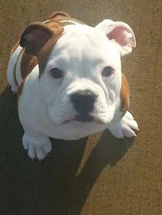 My baby boy! Chaucer..Olde English Bulldog.